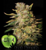 Eva TNT Kush Female 3 Marijuana Seeds